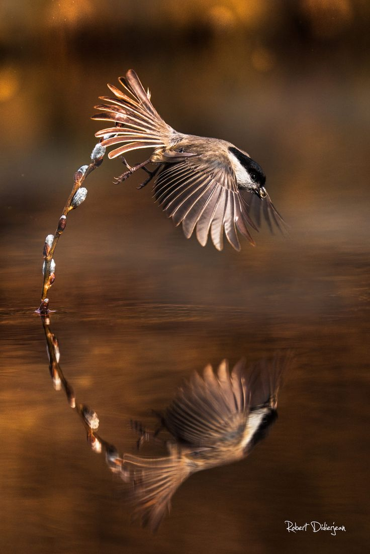 Marsh tit by Robert Didierjean