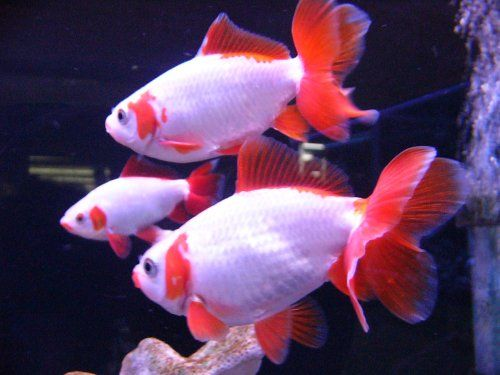 17 best images about aquarium fish fancy goldfish on for Fancy koi fish