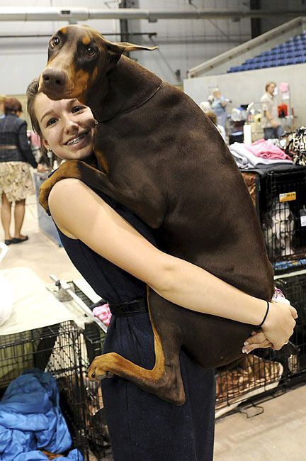 Risiko the timid Doberman leaps into the arms of handler Karlee Howard at the Sooner State Kennel Club Dog Show in Enid, Okla. Risiko won Best of Breed despite being a big wussy.: Chocolate Doberman, Doberman Pinscher, Doberman Pinchers, Dobermans, Doberm