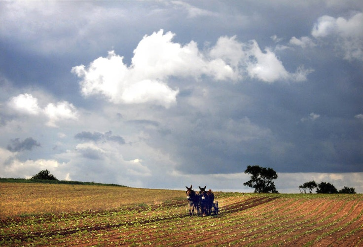 Heimweh:  An Amish farmer works his tobacco field along West Eby Road with a backdrop of clouds, Monday, June 4, 2012, in Pennsylvania's Lancaster County. Lancaster Newspapers / Richard Hertzler