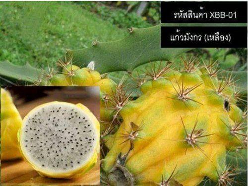 เมลดพนธแกวมงกร(เหลอง) - Yellow Dragon Fruit ใหผลดก...
