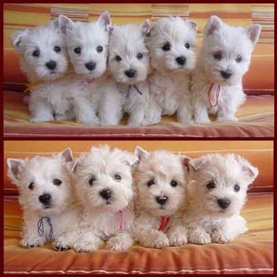 "Westie puppies From your friends at phoenix dog in home dog training""k9katelynn"" see more about Scottsdale dog training at k9katelynn.com! Pinterest with over 18,000 followers! Google plus with over 119,000 views! You tube with over 350 videos and 50,000 views!!1900 plus on Twitter!!"