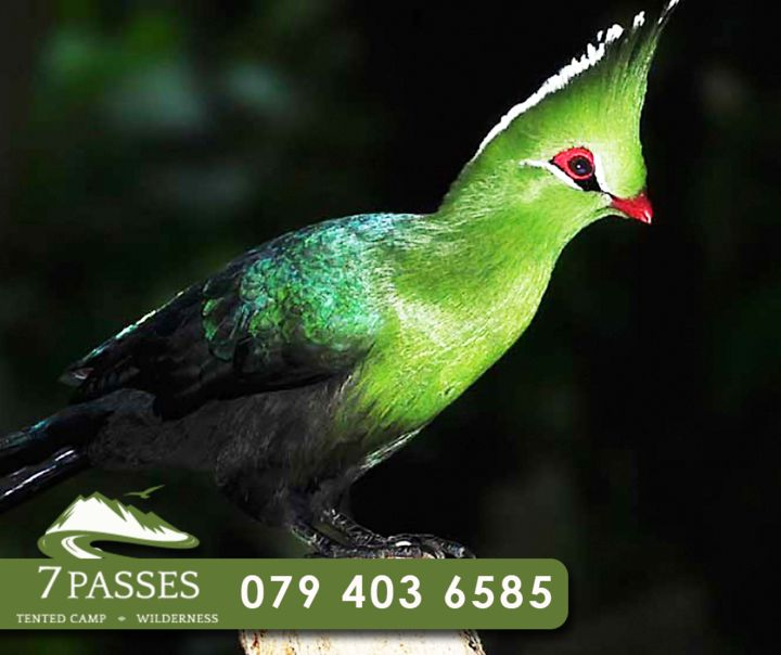 The Knysna Loerie, or Knysna Turaco, is usually seen flying between forest trees, or hopping with agility along branches. Turacos are social, moving in small, noisy flocks.This beautiful bird is a common sight when staying at 7 Passes. #FactFriday #7passes