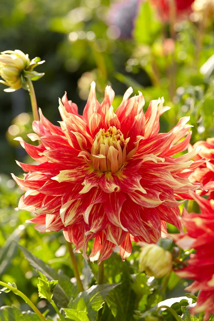 120 best dahlias images on pinterest for Flowers that look like dahlias