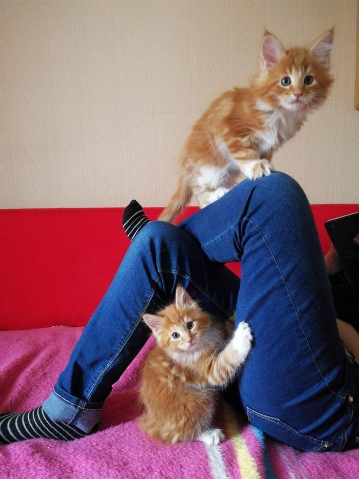 Jeg selger fine Main Coon kattunger. Nå er det 3 han-kattunger igjen. Kattungene er leveringsklare når de er 12 uker gamle. Leveringsklare fra 28. juni 2017. Kattene blir sosialisert. Selges til kos. Alle Kattene har vaksine, helseattest, ID chip, og stamtavle kl2 Aslan 8000 kr Aviagio og Aramis 9000 kr Ta gjerne kontakt på Tlf. 41488643.
