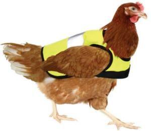 """Diseñan abrigos para pollos y gallinas ...""""Estábamos buscando cosas para mantener a los pollos más calientes y vimos estas chaquetas. Al principio nos pareció divertido, pero (a los pollos) realmente les gustan"""". Empresarios de Banbury, Inglaterra, han encontrado un mercado mundial para un nuevo producto: las chaquetas para este tipo de aves."""