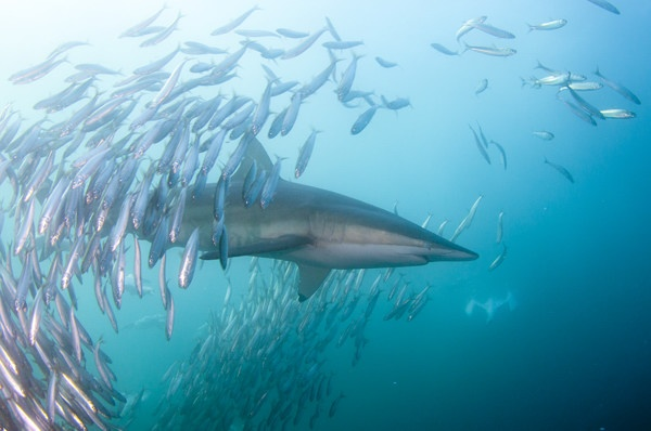 Bronze Whaler Shark feeds on Sardines, during the Sardine Run.