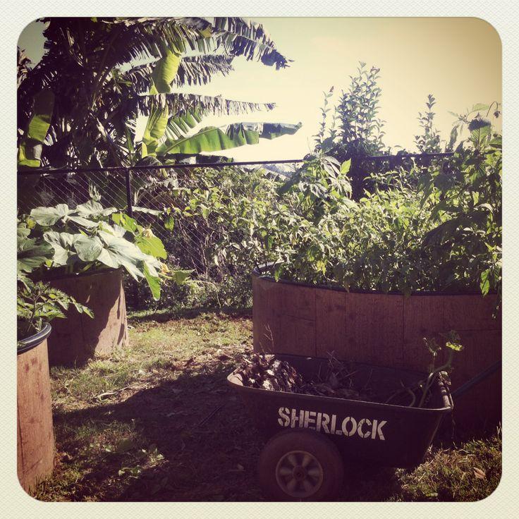 Herb garden and banana tree