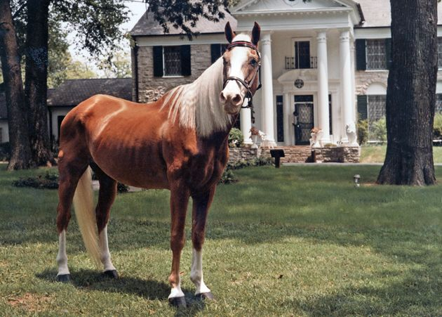 Rising Sun, Elvis' prized golden palomino, retired and lived out his life at Graceland after Elvis' death. He's shown here on the grounds in 1983.