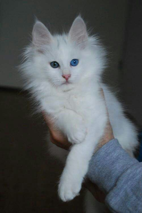 45 Best Images About Turkish Angora On Pinterest Cats