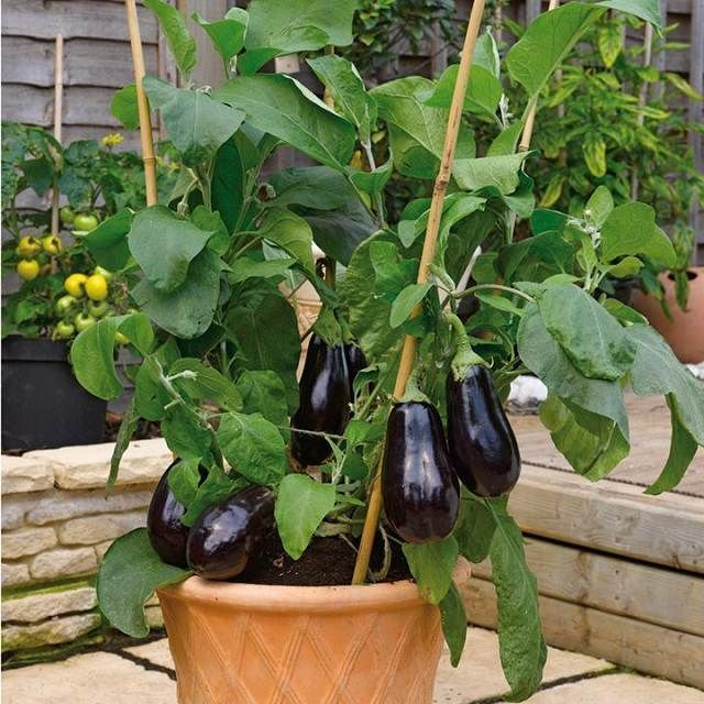 How to Grow an Eggplant in a Pot | Balcony Garden Web #howtourbangarden #organicvegetablegardening