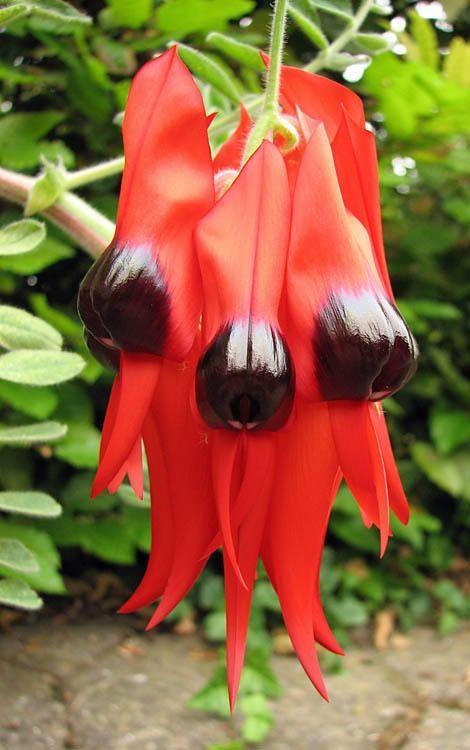 Floral Emblem of South Australia. Sturt's Desert Pea, Swainsona formosa°°