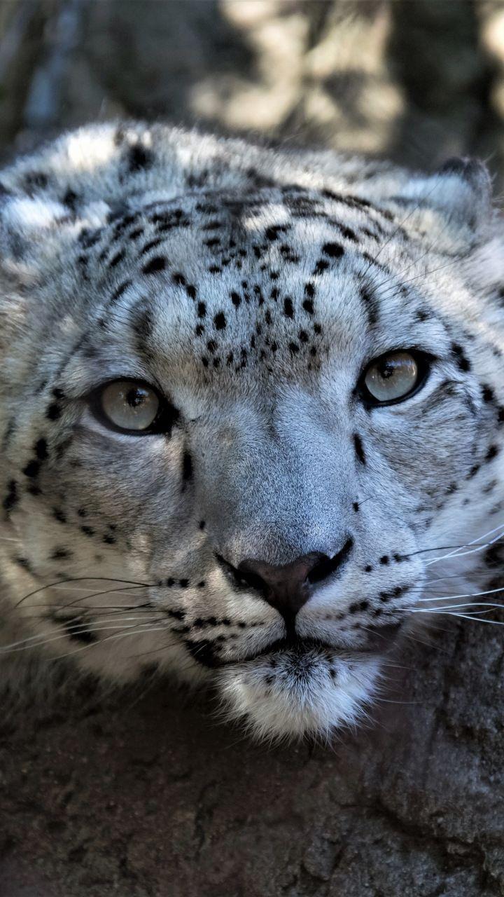 Snow Leopard Muzzle Curious Wildlife 720x1280 Wallpaper Albino Animals Snow Leopard Animals Beautiful