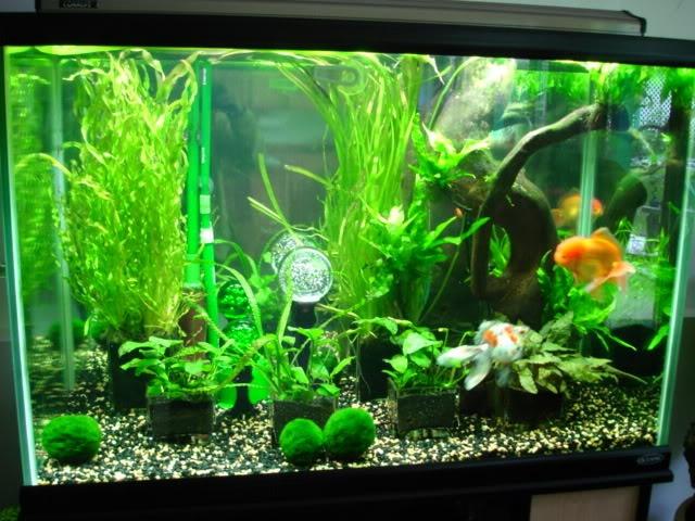 aquascaped goldfish tank