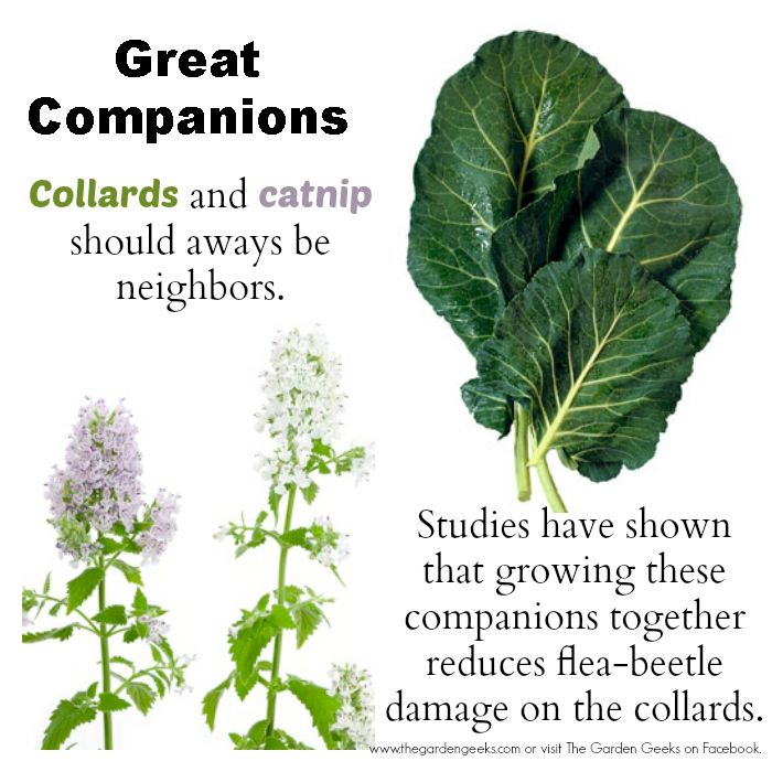 17 Best images about Tips for Growing Collards on ... Companion Planting Kale