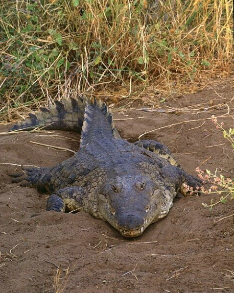Nile crocodile, Maasai Mara Game Reserve, Kenya by Jim ...