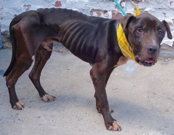 SAFE  8-7-2016 by: Second Chance Rescue --- SUPER URGENT Manhattan Center BENTLEY – A1084173  MALE, BLACK, PIT BULL / MASTIFF, 6 yrs STRAY – STRAY WAIT, NO HOLD Reason STRAY Intake condition UNSPECIFIE Intake Date 08/04/2016 http://nycdogs.urgentpodr.org/bentley-a1084173/