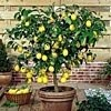 What indoor trees you can grow