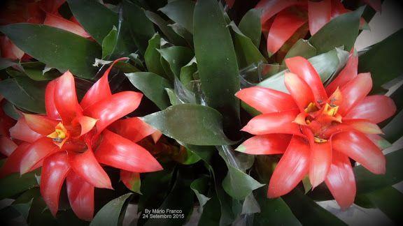 Bromeliaceae:  Guzmania sp.  Meu cantinho verde: Bromélias