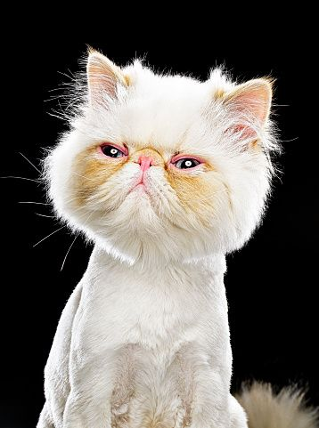 Persian cat hair grooming