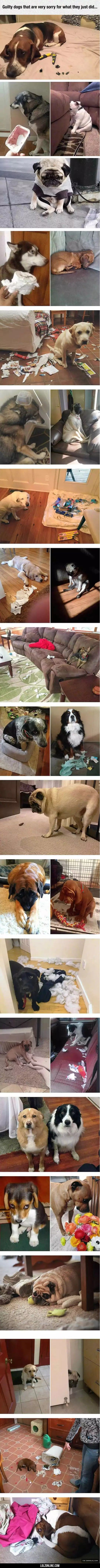 Guilty Dogs - awwww!!!! It's ok I forgive you!! Lol, man... those pug guilt faces