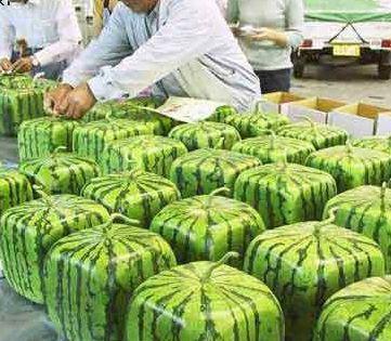 vierkante-watermeloenen