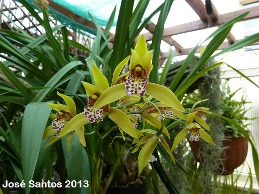 Cymbidium Tiger Moth '!'