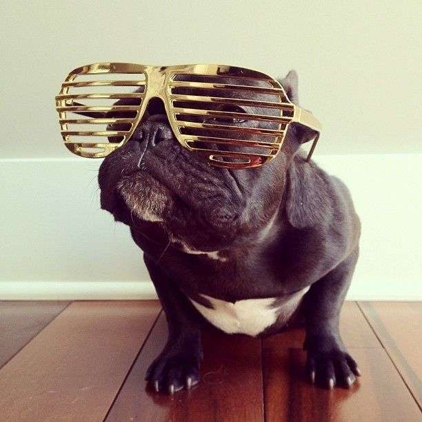 Meet Instagram's Most Dapper French Bull DogWild Animal, Shades, Instagram, Dapper French, Dresses Up, Pit Bull, French Bull Dogs, Funny French Bulldogs, Bling Bling