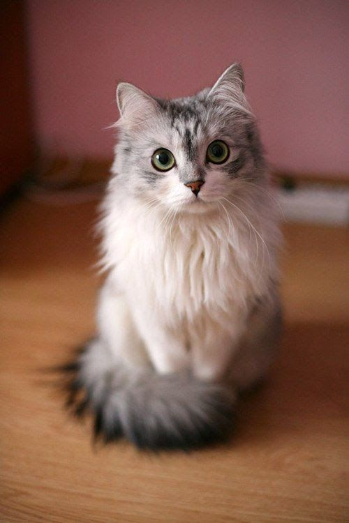 Siberians produce less allergens than other cats with long hair, they are better for allergy sufferers.