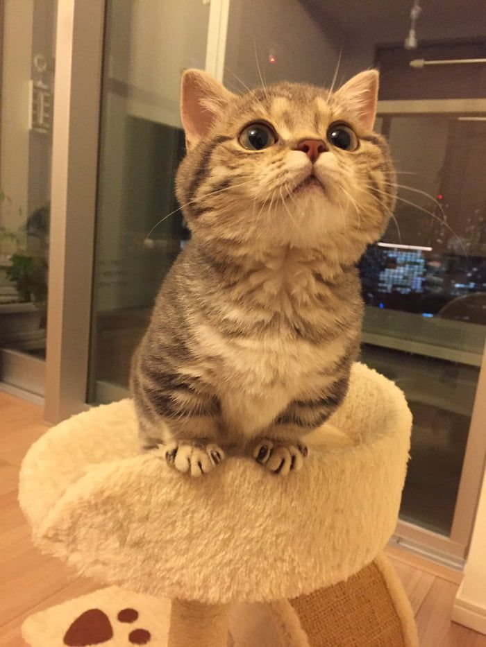 I Am Enjoying This Cat And Its Short Legs Cute Cats Kittens