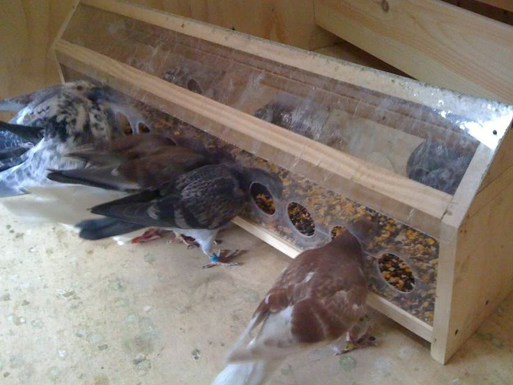 Nice pigeon plexiglass feeder idea