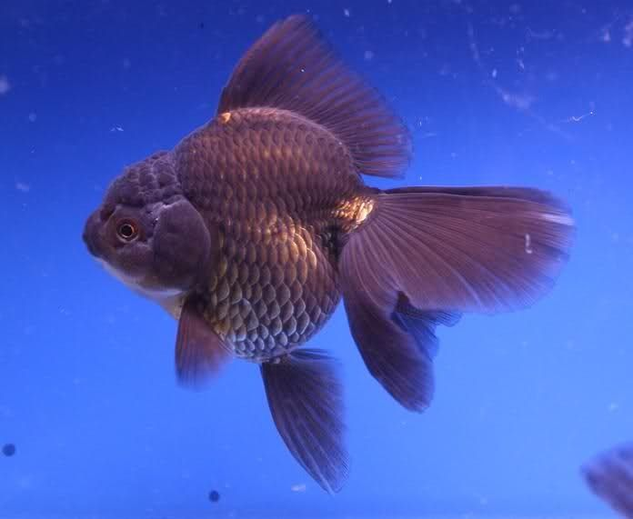 Oranda Gold Fish 13