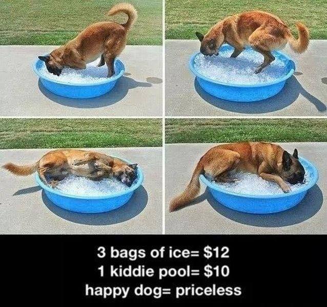 German Shepherd, hot day, ice = happy puppy!