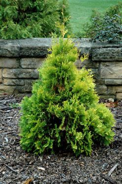 Kigi Nursery - Thuja occidentalis ' Gold Drop ' Dwarf Yellow Eastern Arborvitae, $15.00 (http://www.kiginursery.com/dwarf-miniatures/thuja-occidentalis-gold-drop-dwarf-yellow-eastern-arborvitae/)