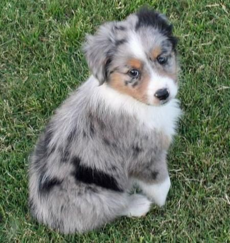 black white and brown Australian Shepherd puppies