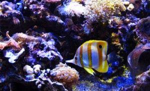 Paul Baldassano's 100 gallon aquarium that has been running successfully for 40+ years. Amazing reef tank.