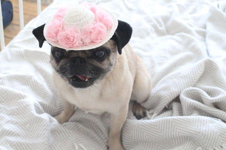 Lulu Pug wearing a cute Summer hat www.loulabeth.co.uk
