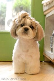 Shih tzu Braids and Haircuts on Pinterest