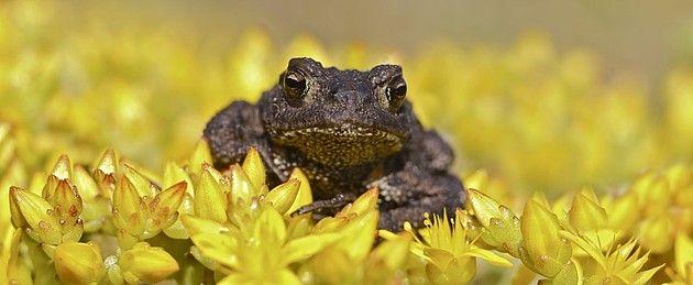 Fotograaf: anna1945  Dit padje zat op een geel bloeiend mosje mooi te poseren.      Categorie:Amfibieën en reptielen (kikker, hagedis, etc)      Nederlandse naam: Gewone pad.     Wetensch. naam: Bufo bufo.