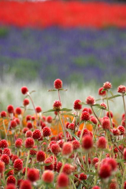 Flower fields in Japan: Kano Farm near Biei Hokkaido