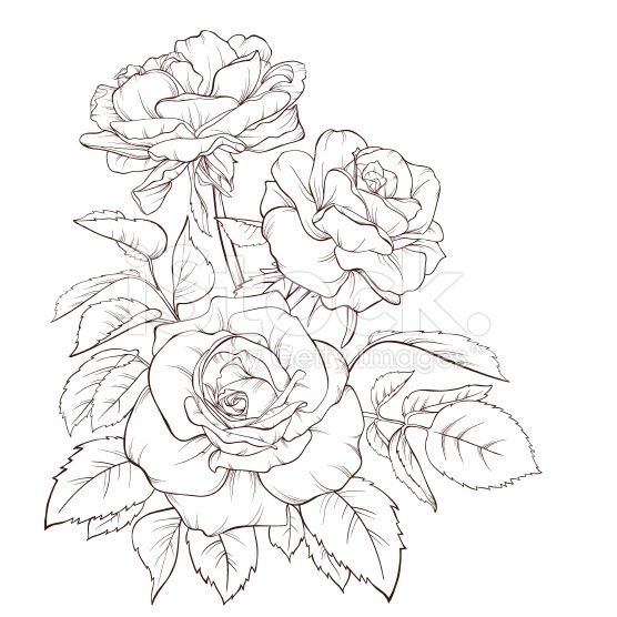 Line Drawing Of Rose Plant : Image from http i istockimg file thumbview approve