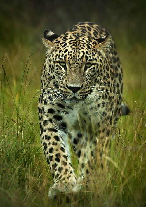 Persian leopard by Marie Gill Anderson: Big Cat, Wildcats, Animal Kingdom, Wild Animals, Wild Cats, Amazing Animals