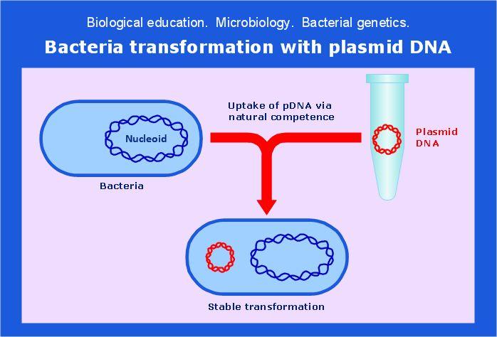 Microbiological educational diagram sample: Bacteria ...