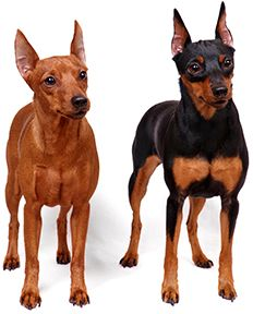 Miniature Pinscher Breed Guide - Dog Insurance | PetFirst