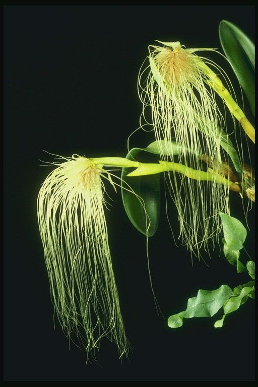Orchid so závitom-rád lístkov.