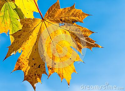 A golden leaf of the Sycamore Tree & x28;Acer Pseudoplatanus& x29; in the autumn, against a blue sky backdrop. A deciduous tree, the leaves are a bright green all summer, changing to varying shades of yellow, gold and rusts as they die back in the autumn.