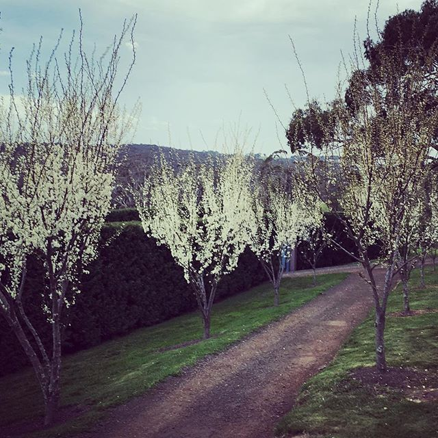 Japanese plums showing the promise of a heavy crop to come. #blossom #stonefields