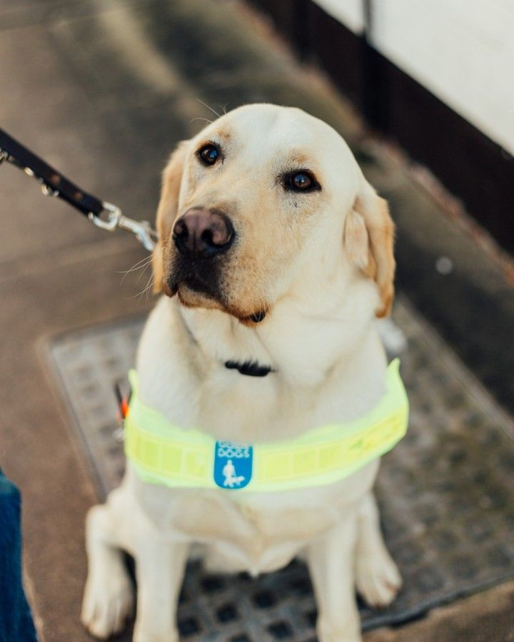 Guide Dogs Uk On Instagram Humbug Labrador And Golden