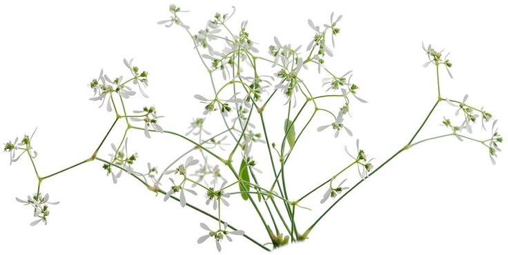 Euphorbia 'Diamond Frost' LF FO pw