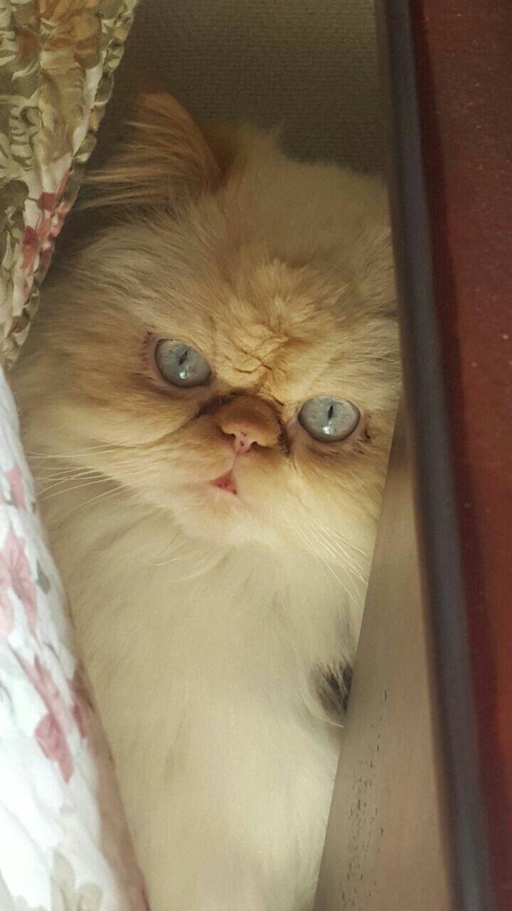 Otto mi gato persa himalayo escondido